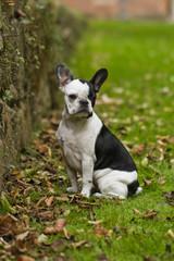 Französiche Bulldogge im Park