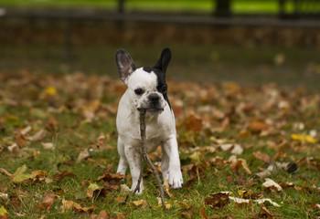 Französische Bulldogge bringt Stöckchen
