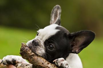 Welpe Französische Bulldogge