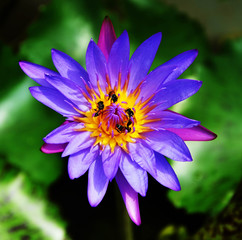 Single violet lotus and 4 bees