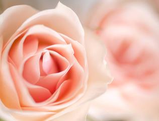 Beautiful blooming roses