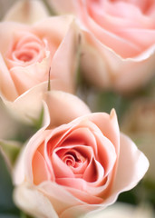 Beautiful garden blooming roses