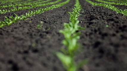 Young Sugar beet plants in rows on a field