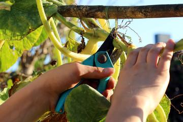 Gärtner beim Beschneiden einer Kürbispflanze