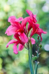 Pink canna flowe