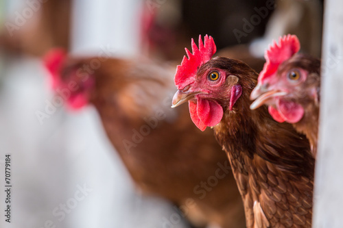 Fotobehang Kip Brown Chickens