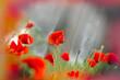 Poppy flowers (wild poppy)