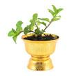 Fresh mint herb in pot