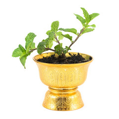 Fresh mint herb in pot