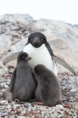 female and two chicks Adelie penguin sitting in a nest on a summ