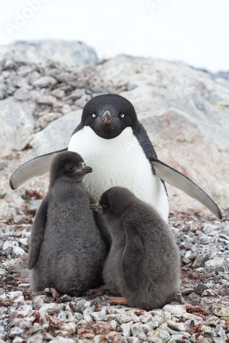 Fotobehang Antarctica female and two chicks Adelie penguin sitting in a nest on a summ