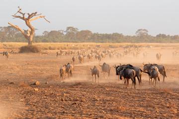 Blue wildebeest in dust, Amboseli National Park