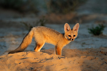 Cape fox (Vulpes chama) outside its den