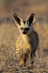 An alert bat-eared fox (Otocyon megalotis)