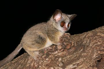 Nocturnal Lesser Bushbaby (Galago moholi)