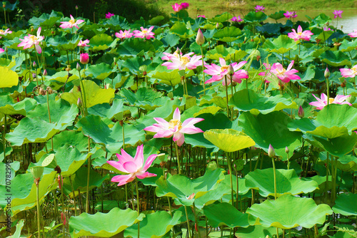 Staande foto Lotusbloem Wonderful lotus pond, Vietnam flower