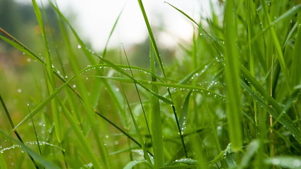Beautiful dew on the grass