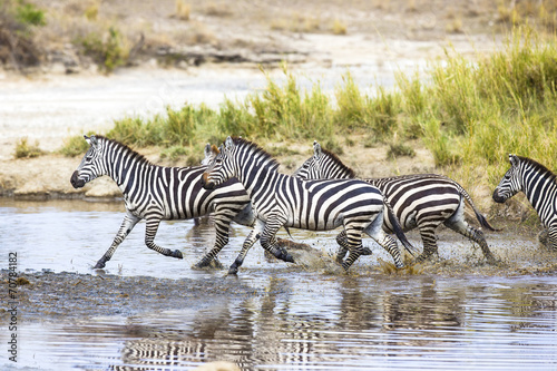 Plexiglas Zebra Zebras runs in the water