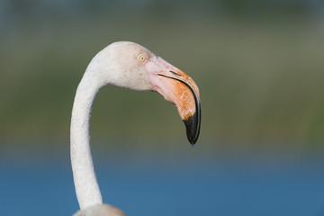 Rosaflamingo, Greater flamingo, Phoenicopterus roseus