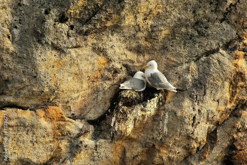 Mewy, Norwegia mewy wysiadują pisklęta