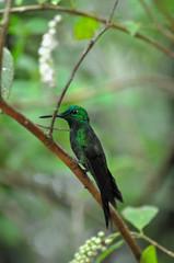 Costa Rica Kolibri sitzend