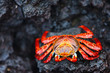 canvas print picture - Sally lightfoot crab