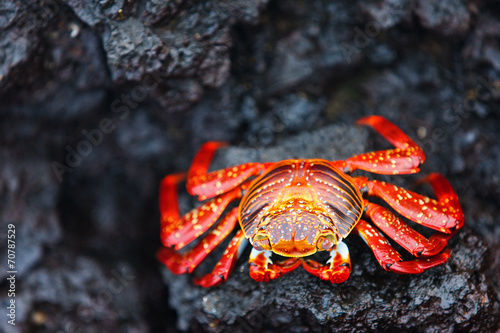 canvas print picture Sally lightfoot crab