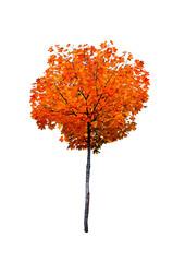 maple tree isolated on white background
