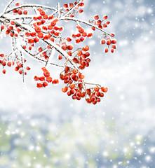 branch rowan berries