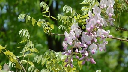 藤の花 桃色