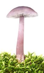Amethyst Deceiver purple mushroom Laccaria amethystina