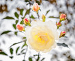 canvas print picture - White rose with buds backlit