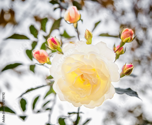 canvas print picture White rose with buds backlit
