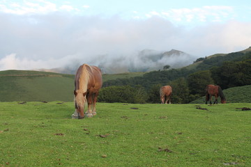 Pottok, cheval basque