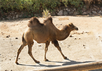 Standing bactrian camel (Camelus bactrianus)