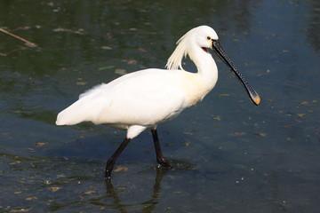 uccello migratore spatola a caccia