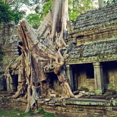 Giant tree шт Siem Reap