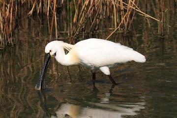uccello migratore spatola a caccia nella palude