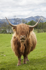 Incredible scottish cattle, cow with long hair, horns, Scotland