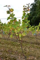 Jeunes pieds de vigne