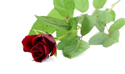 red rose on isolated white