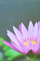 sweet lotus  flowers in soft style for background