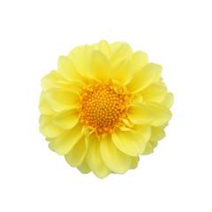 Yellow dahlia isolated on white background