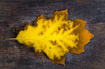 yellow oak leaf on wooden background