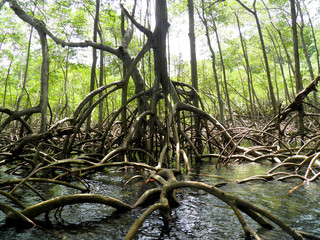 mangrove forest and river dominican republic