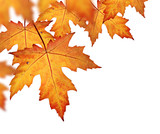 Orange fall leaves border, isolated on a white background poster