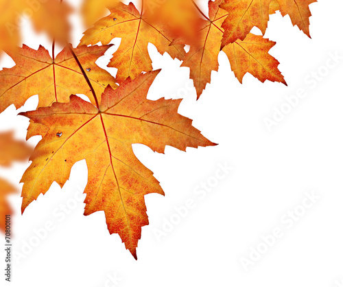 Spoed canvasdoek 2cm dik Bomen Orange fall leaves border, isolated on a white background