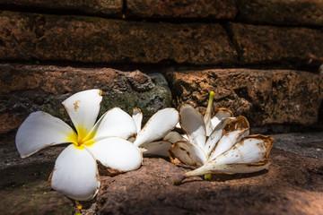 Plumeria fall on the ground