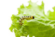 Pest yellow caterpillar on lettuce