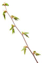 Fresh foliage in spring